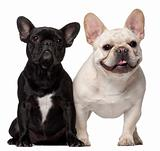Two French Bulldogs, 18 months old, in front of white background