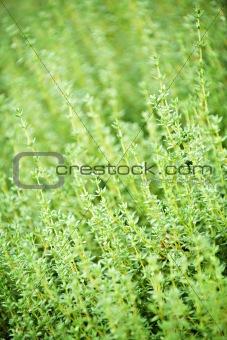 Thyme plants