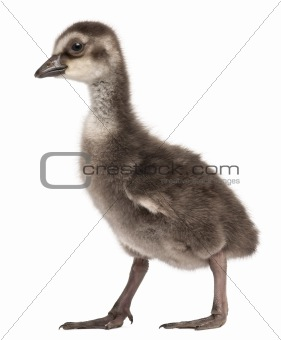 Hawaiian Goose, Branta sandvicensis, a species of goose, 4 days old, in front of white background