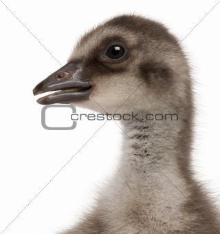 Close-up of Hawaiian Goose, Branta sandvicensis, a species of goose, 4 days old, in front of white background