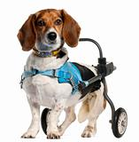 Paralyzed handicapped Basset Artésien Normand dog, 8 years old, in front of white background