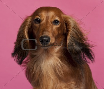 Close-up of Dachshund in front of pink background