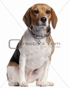 Beagle, 16 months old, sitting in front of white background