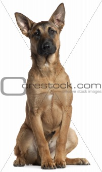 Belgian Shepherd Dog, Malinois, 5 months old, sitting in front of white background