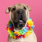 Close-up of Shar-pei wearing Hawaiian lei in front of pink background