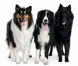 Collies standing in front of white background
