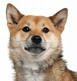 Close-up of Shiba Inu, 1 year old, in front of white background