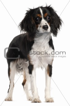 Cavalier King Charles Spaniel, 7 months old, standing in front of white background
