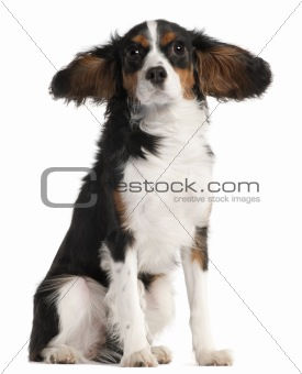 Cavalier King Charles Spaniel, 7 months old, with hair in the wind in front of white background
