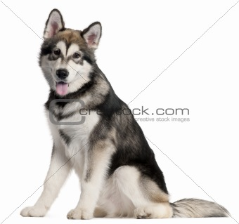 Alaskan Malmute puppy, 5 months old, sitting in front of white background