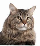 Close-up of Maine Coon, 2 years old, in front of white background