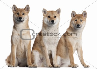 Three Shiba Inu puppies, 6 months old, in front of white background
