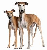 Galgo Españols, 6 years old and 3 and a half years old, standing in front of white background