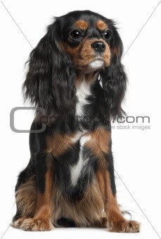 Cavalier King Charles Spaniel, 11 months old, sitting in front of white background
