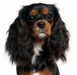 Close-up of Cavalier King Charles Spaniel, 11 months old, in front of white background