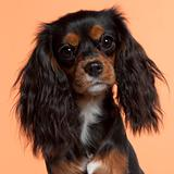 Close-up of Cavalier King Charles Spaniel, 11 months old, in front of orange background