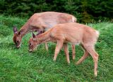 Fawns eating grass