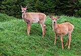 Fawns Looking at the Camera