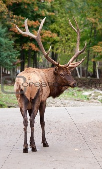 Male Elk on the Road