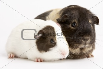 Two Guinea Pigs Against White Background