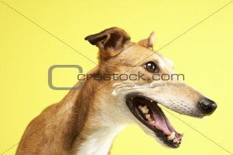 Portrait Of Pet Greyhound