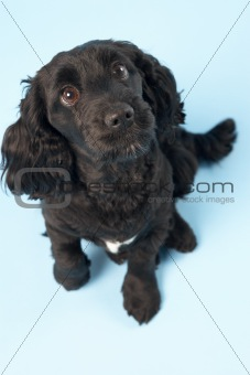 Black Spaniel Puppy In Studio