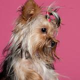 Close-up of Yorkshire Terrier, 9 months old, in front of pink background