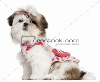 Shih Tzu puppy dressed up, 3 months old, sitting in front of white background