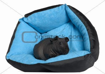 Black guinea pig, 3 months old, in blue dog pillow in front of white background