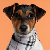 Close-up of Jack Russell Terrier puppy wearing handkerchief, 4 months old, in front of orange background