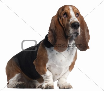 Basset Hound, 3 years old, sitting in front of white background