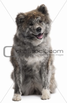 Akita Inu, 7 years old, sitting in front of white background