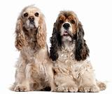 Two American Cocker Spaniels, 1 and 2 years old, in front of white background