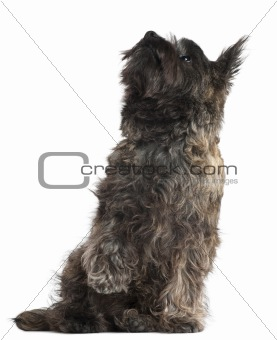 Cairn Terrier, 8 months old, sitting and looking up in front of white background