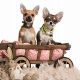 Chihuahua puppies, 3 months old, sitting in dog bed wagon with stuffed animals in front of white background
