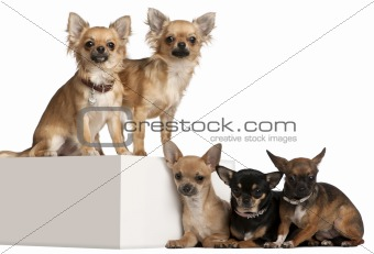 Five Chihuahuas, 1 year old, in front of white background
