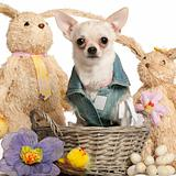 Chihuahua dressed in denim, 10 months old, sitting in Easter basket in front of white background
