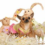Chihuahua dressed up and standing with Easter stuffed animals in front of white background