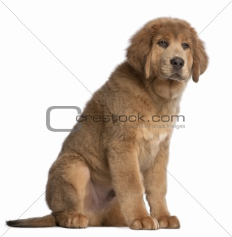 Tibetan Mastiff puppy, 3 months old, sitting in front of white background