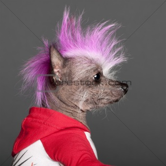 Close-up of Chinese Crested Dog with pink mohawk, 4 years old, in front of grey background