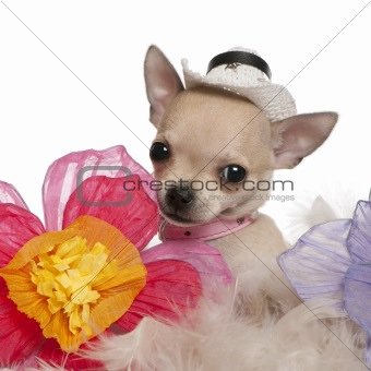 Close-up of Chihuahua puppy, 2 months old, wearing hat and sitting with flowers in front of white background