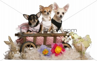 Three Chihuahuas, 1 year old, 8 months old, and 5 months old, sitting in dog bed wagon with Easter stuffed animals in front of white background