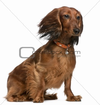 Dachshund with hair in the wind, 2 years old, sitting in front of white background