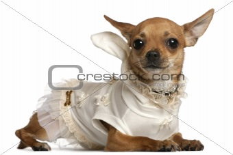 Chihuahua wearing dress, 1 year old, lying in front of white background