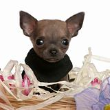 Close-up of Chihuahua puppy sitting in Easter basket with flowers in front of white background