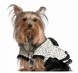 Yorkshire Terrier wearing black and white polka dot dress, 3 years old, sitting in front of white background