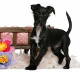Mixed-breed dog, 5 months old, standing in front of dog bed with flowers in front of white background