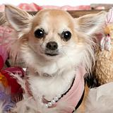 Close-up of Chihuahua dressed up and wearing pearls, 3 years old, in front of white background