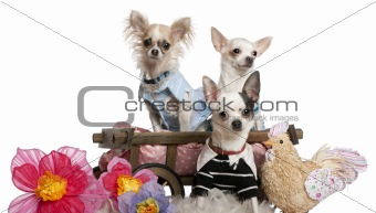Three Chihuahuas dressed up and in dog bed wagon near flowers and stuffed chicken in front of white background
