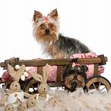 Two Yorkshire Terriers, 5 and 9 months old, with dog bed wagon and Easter stuffed animals in front of white background